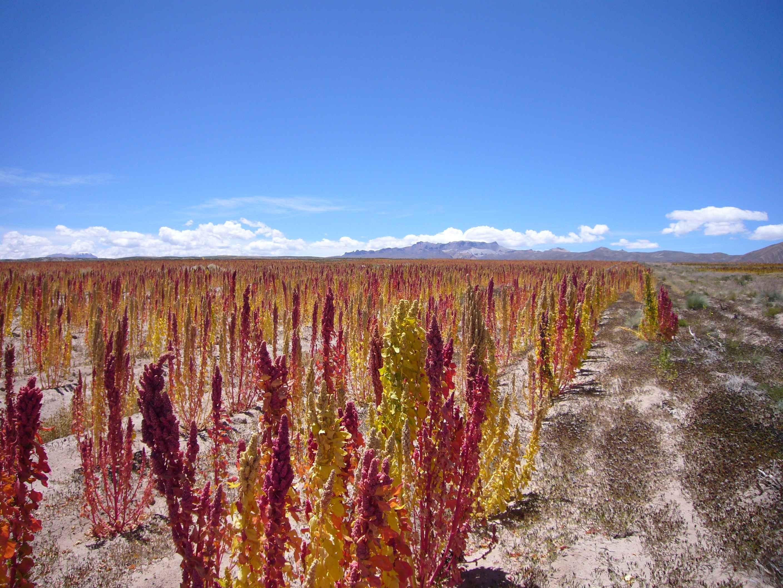 L tat du quinoa en bolivie catherine lefebvre for Plante quinoa