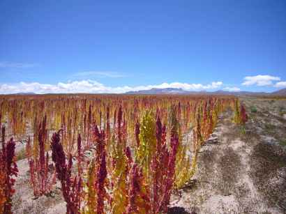 Quinoa rouge et blanc, prés d'Uyuni, où se situe Salar, le plus grand désert de sel. Le quinoa pousse pratiquement dans le sable, dans un sol particulièrement riche en minéraux, à près de 4 000 m d'altitude et où les températures peuvent atteindre -25°C. C'est peut-être plus ça, un super aliment.